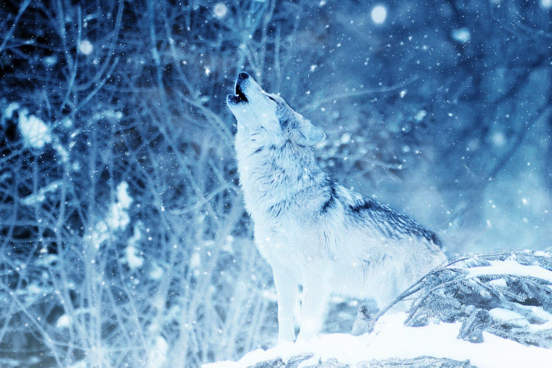 wolf-2288533_1920